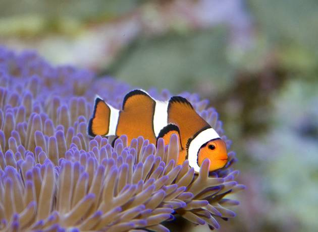 Australia Great Barrier Reef - Clown Fish