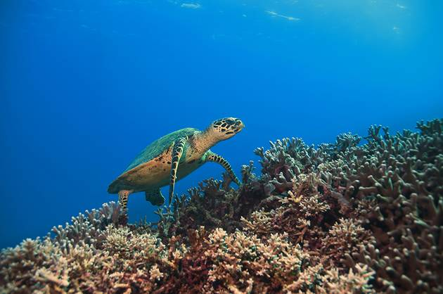 Australia Great Barrier Reef - Green Sea Turtle