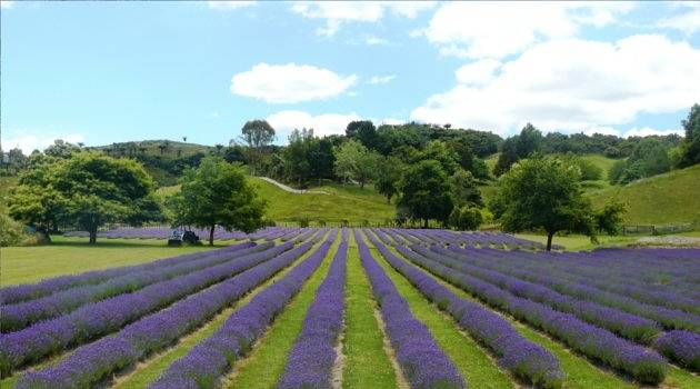 Lavender field with straight rows and mountains behind