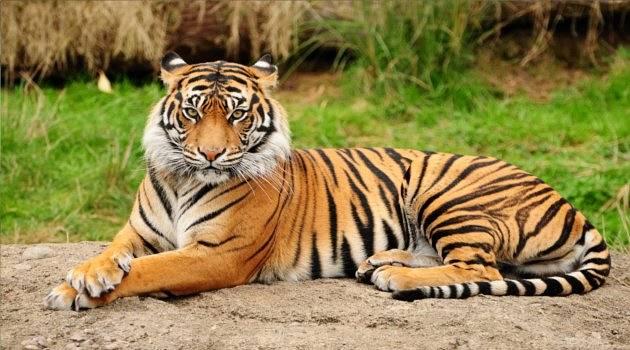 bengal tiger in repose