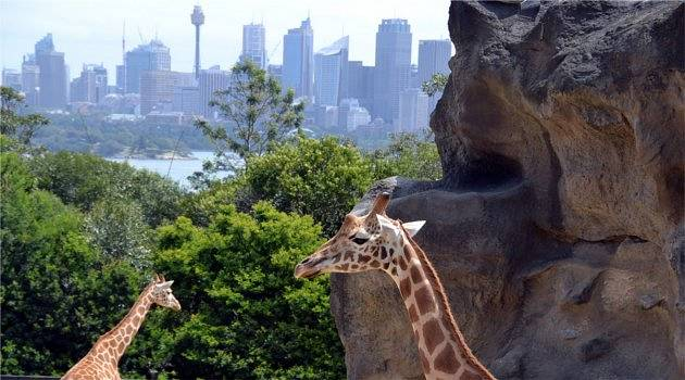 Giraffes with a view in Sydney