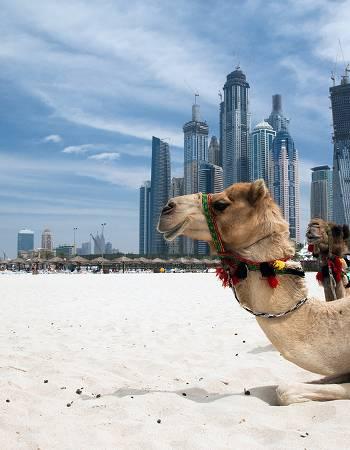Camel on beach in Dubai
